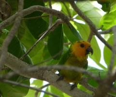 Lora parrot