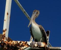 Pelican takes it easy