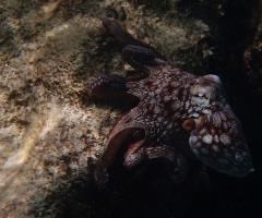Octopus hangs around
