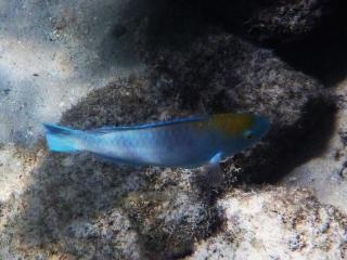 Juvenile blue parrotfish