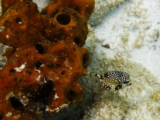 Tiny trunkfish