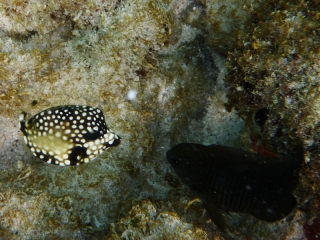 Boxfish and Damselfish