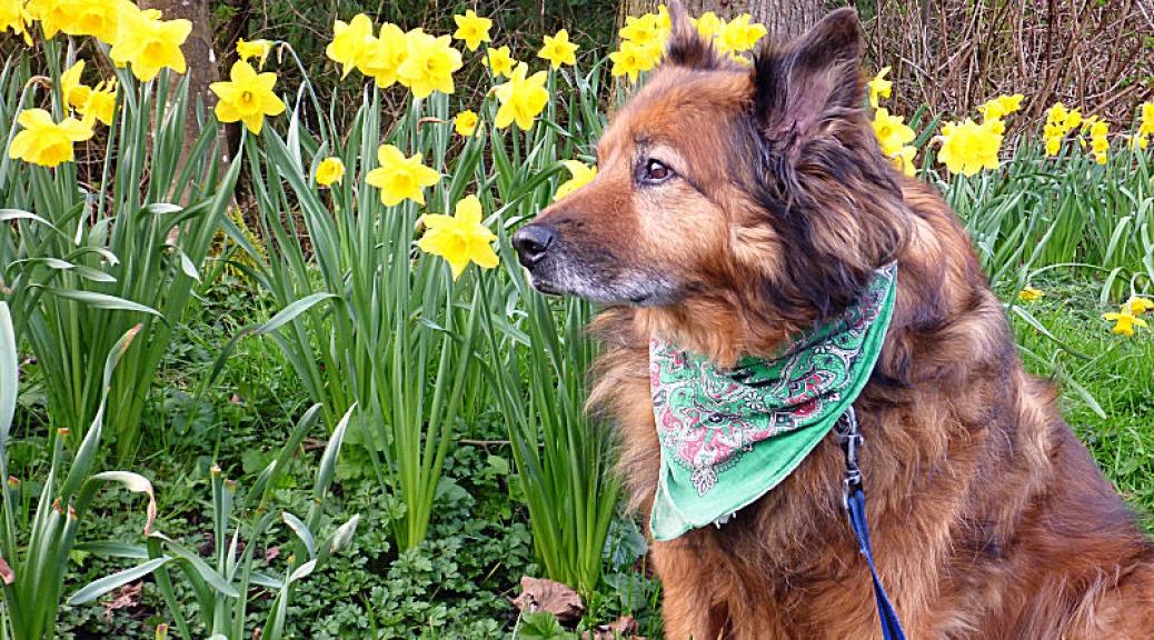 Max among the daffodils
