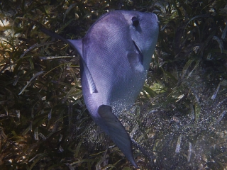 Ocean triggerfish, Smith's Reef