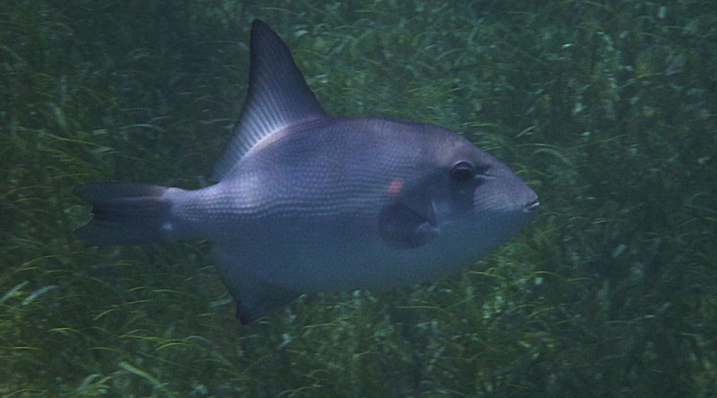 Ocean triggerfish, Smith\'s Reef