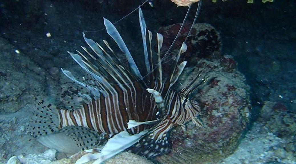 The pesky lionfish