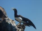 Bird at Hadicurari Beach, Aruba