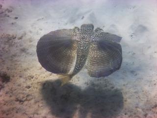 Flying gurnard, Boca Catalina, Aruba