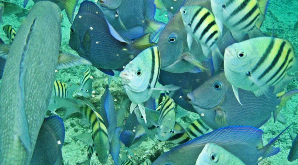 Fish feeding frenzy