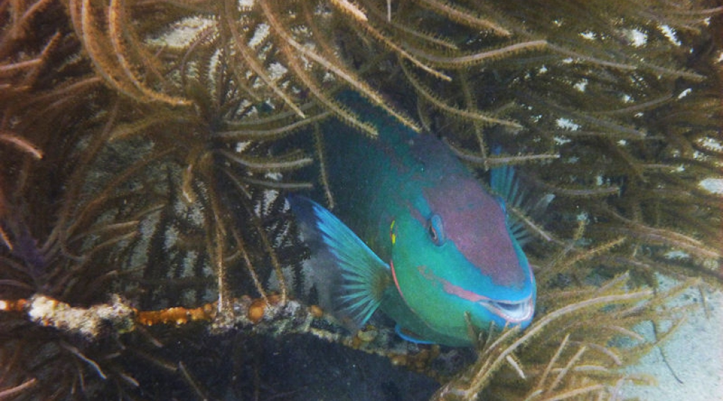 Parrotfish in the coral
