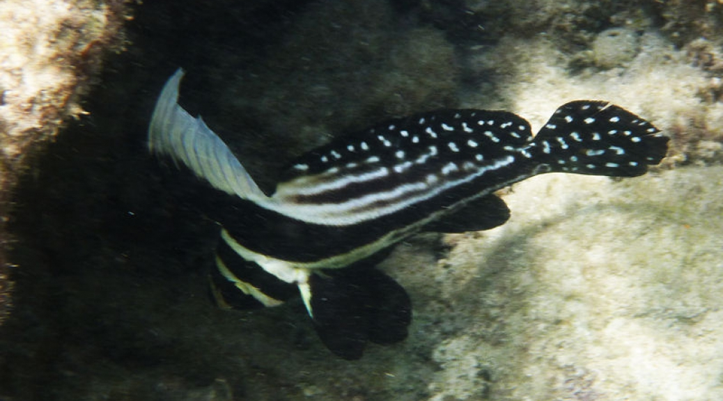 Spotted Drum