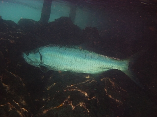 Big ass tarpon