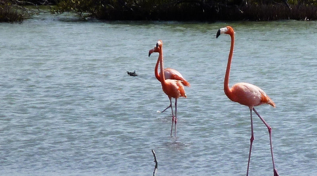 Famous Bonaire Flamingo