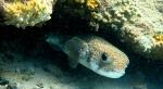Porcupinefish at Playa Grandi
