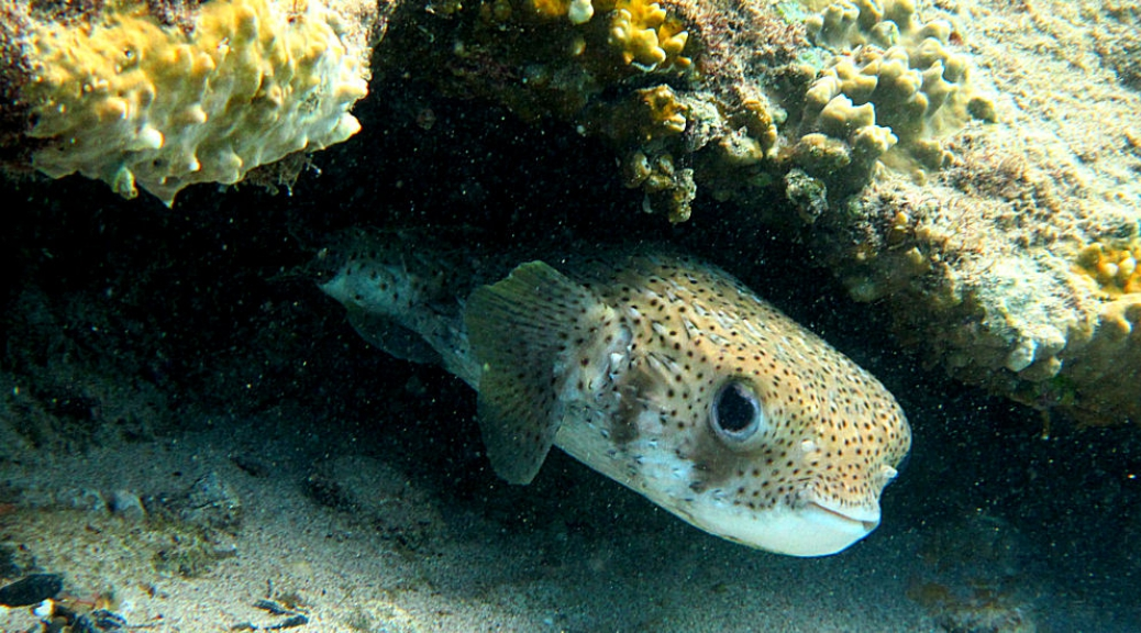 Porcupinefish at Playa Grandi