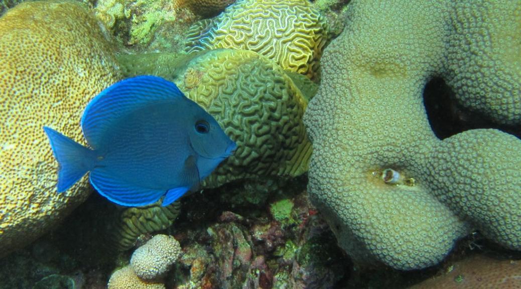 A little blue tang