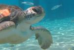 Turtle at Play Grandi