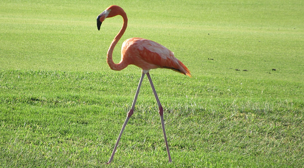 The return of the flamingo
