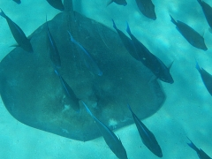Stingray-Tangs.jpg