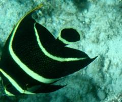 Juvenile French Angelfish