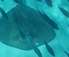 Stingray with tangs