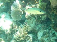 Blue Grunt, Grand Cayman