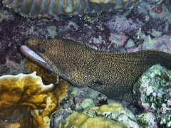 Golden moray eel,
