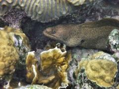 Golden moray