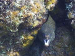 Gold moray eel