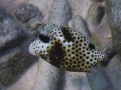 Mini trunkfish
