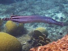 A huge Trumpetfish