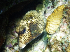 Big trunkfish