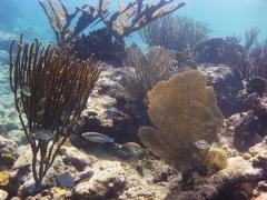 Coral at Blue Bay Beach, Curacao