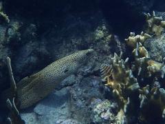 Golden moray eel