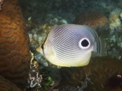 Four eye butterfly fish