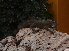 Iguana at the RSA