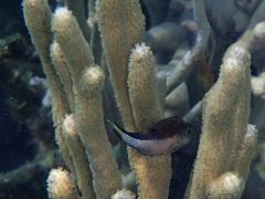 Baby pufferfish