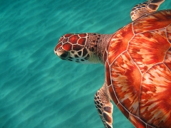 Turtle at Playa Grandi