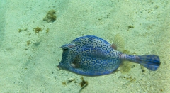 Cowfish at Playa Grandi