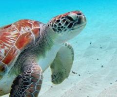 Turtles at Playa Grandi