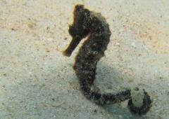 Seahorse at Kokomo Beach