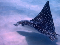 Eagle ray in Curacao
