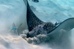 Eagle ray digging for dinner
