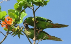 A pair of Lora Parrots