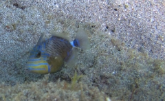 Queen Triggerfish, Playa Piskado