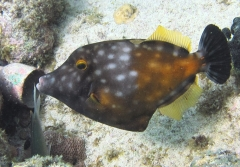 Spotted filefish, Playa Jerem