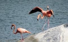Flamingos doing a little dance