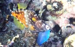 Orange spotted tile fish