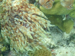 Sea Feather and Christmas tree worms