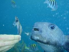 Feeding the porcupine fish
